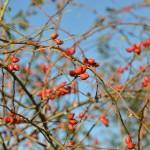 Hagebutten im Herbst