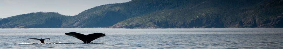 Wale und Eisberge in Kanada