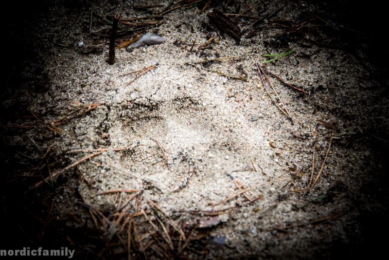 Wolfstracking mit der Wildnisschule Hoher Fläming