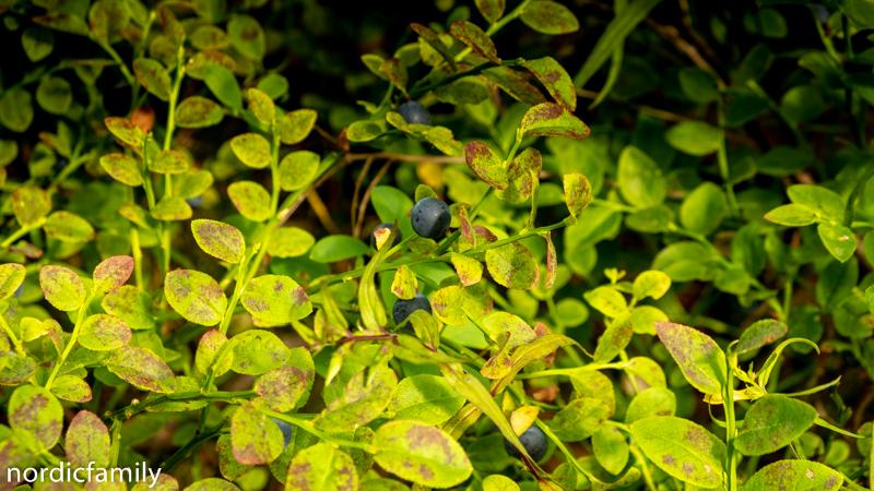 Blaubeeren Hiiumaa
