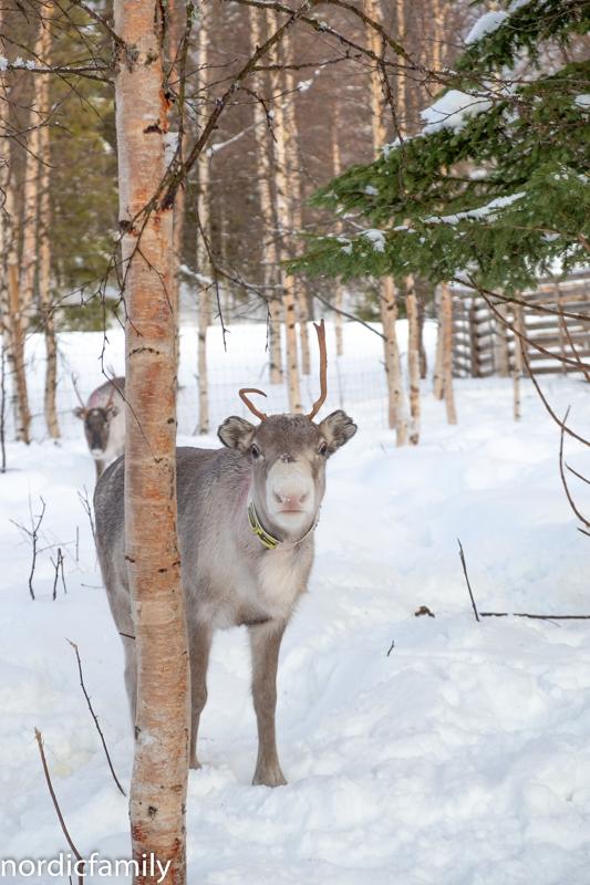 Rentieren Sami Winter Tornedalen