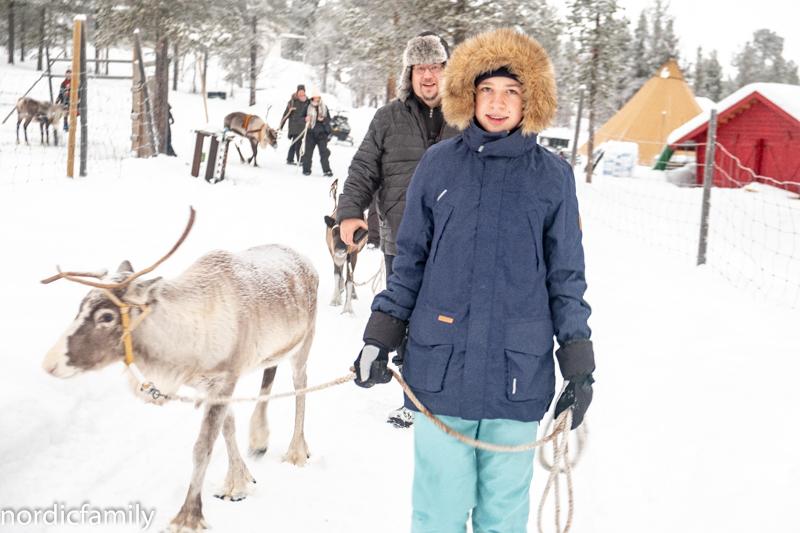 Rentier in Kiruna Lapland